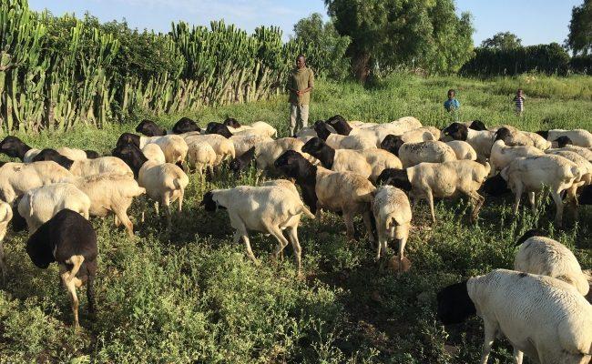 الثروة الحيوانية: هبة للحياة لـ 1000 عائلة