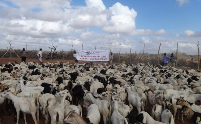 udhiya sheeps